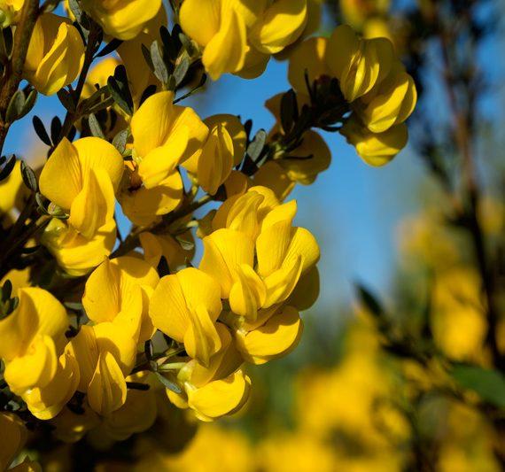 Honeybush Health Benefits